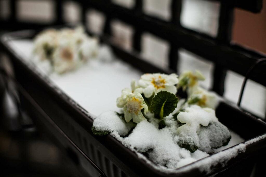 gelbe Balkonblumen im Schnee