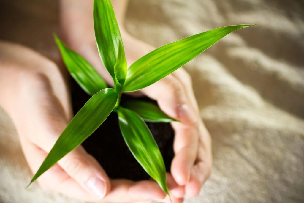 Bambus Jungpflanze in Händen