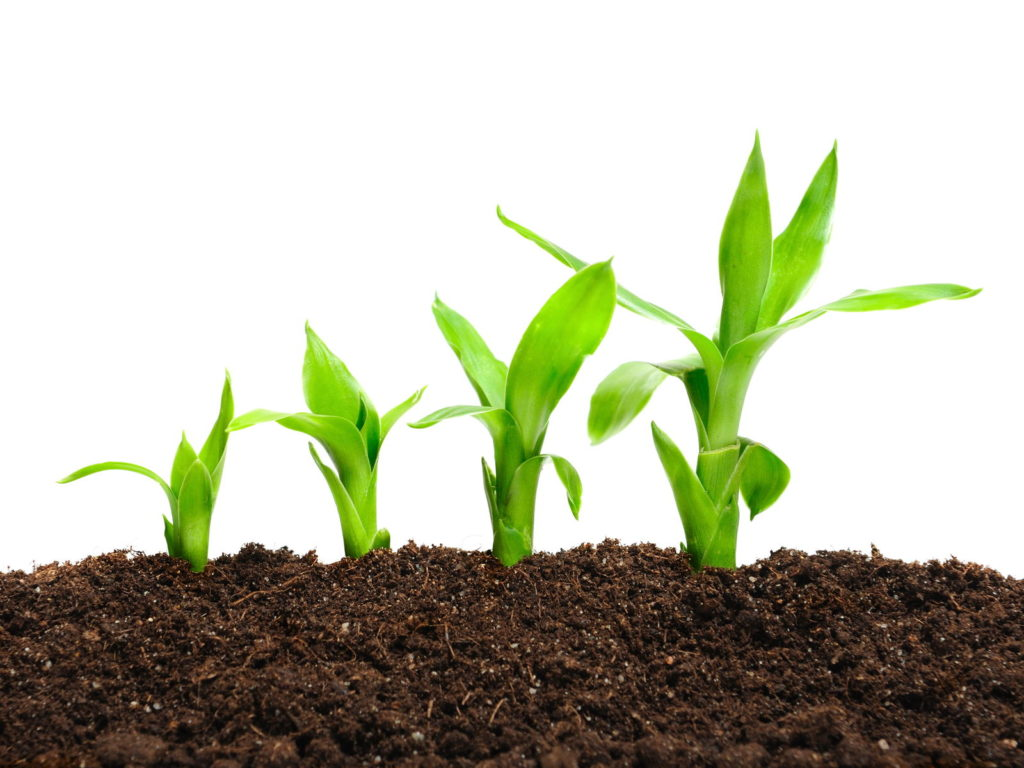 Bambus Keimling Entwicklungsphasen in Erde
