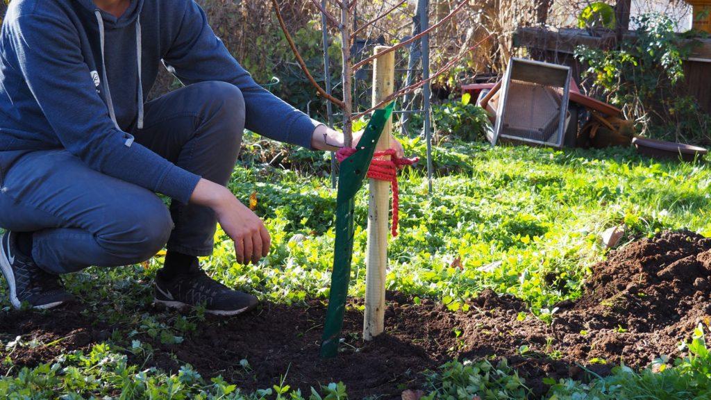 Aprikosenbaum einpflanzen mit Stützpfahl im Garten