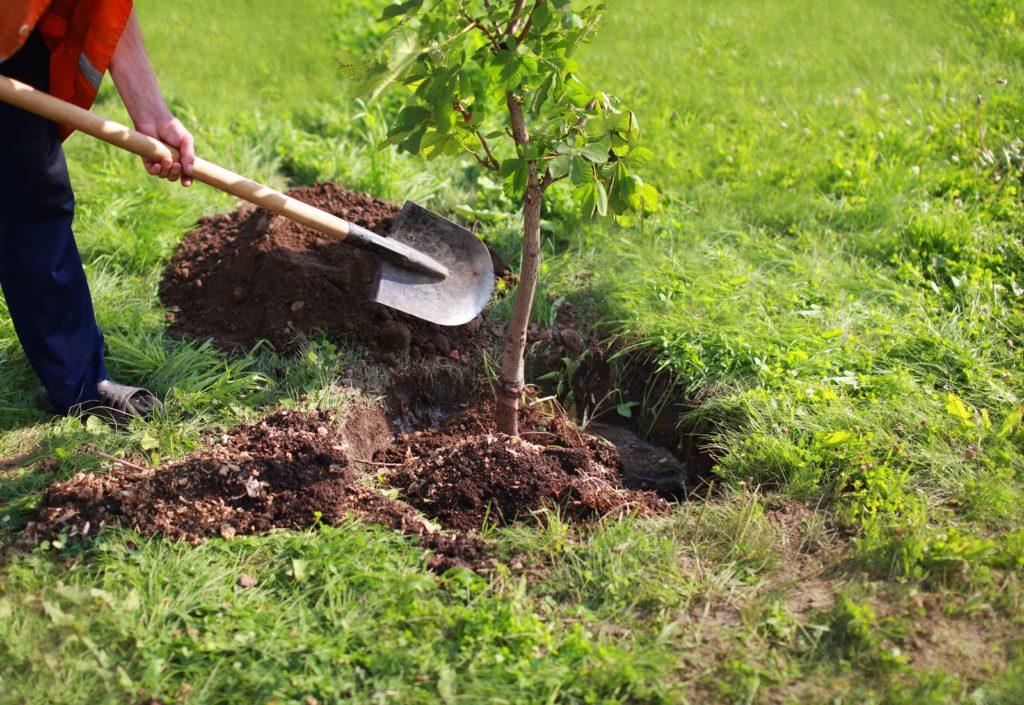 Ein Baum wird ins Pflanzenloch eingesetzt