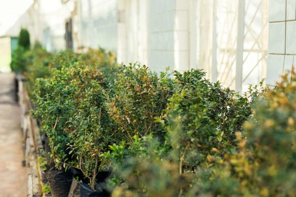 Baumschule für Buchsbäume im Gewächshaus