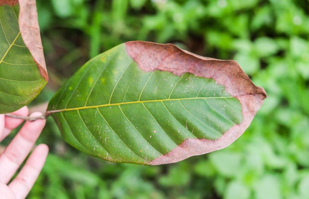 Blatt mit braunen Verfärbungen