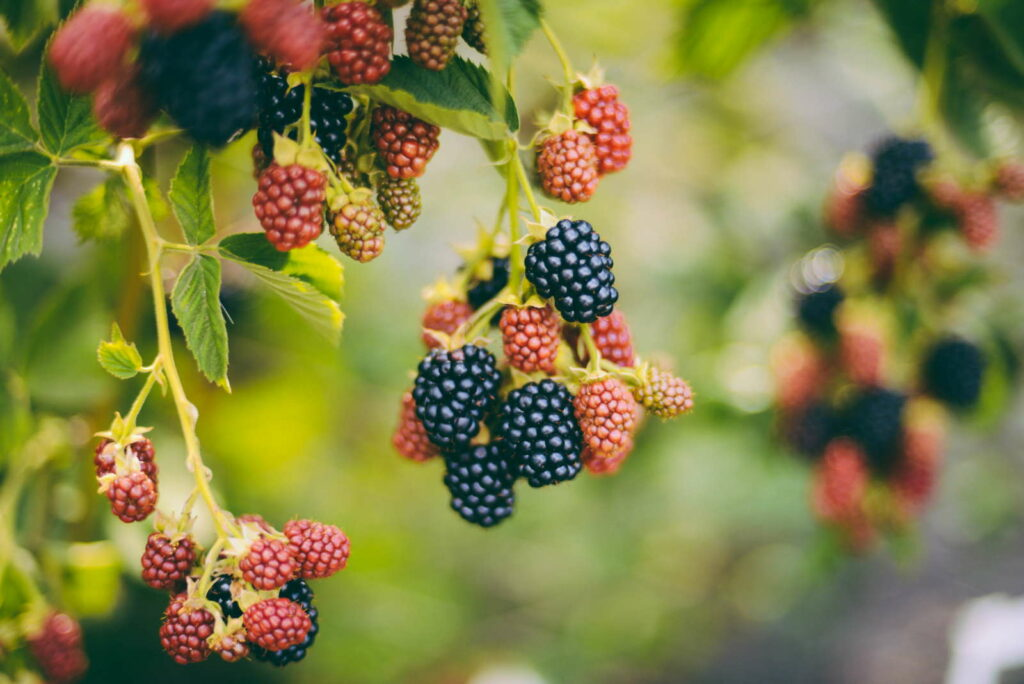 Brombeerstrauch mit Beeren