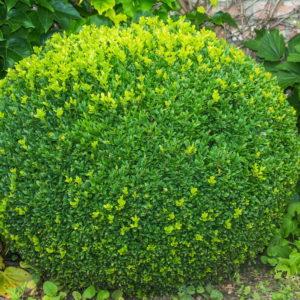 Buchsbaum In Kugelform Im Garten