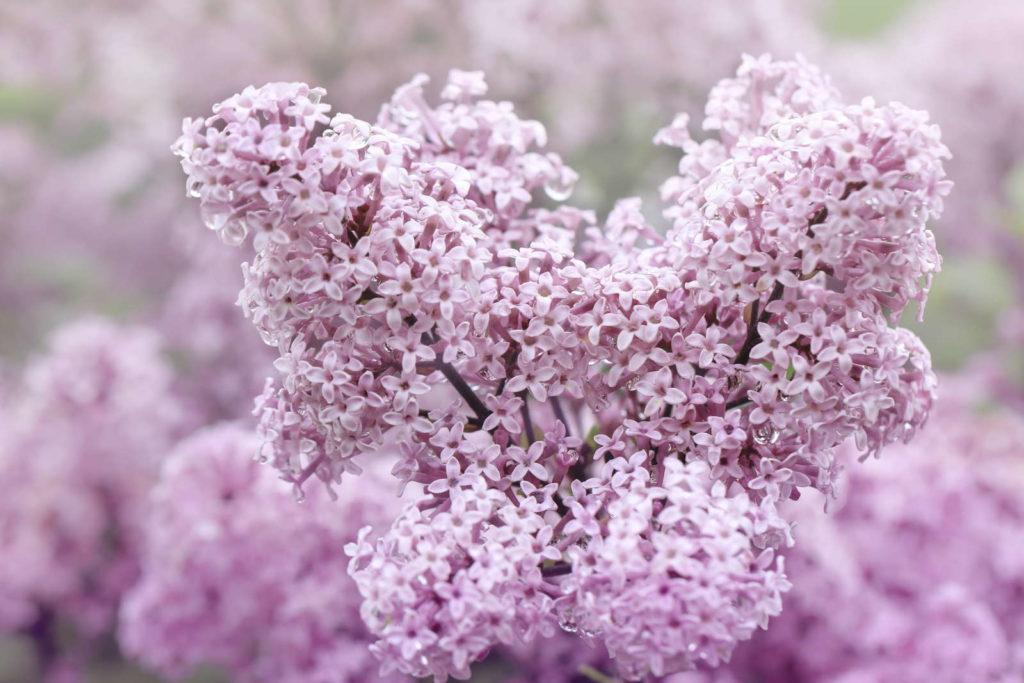 Chinesischer Zwerg-Flieder violett