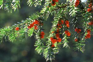 Eibe Zweige In Der Sonne