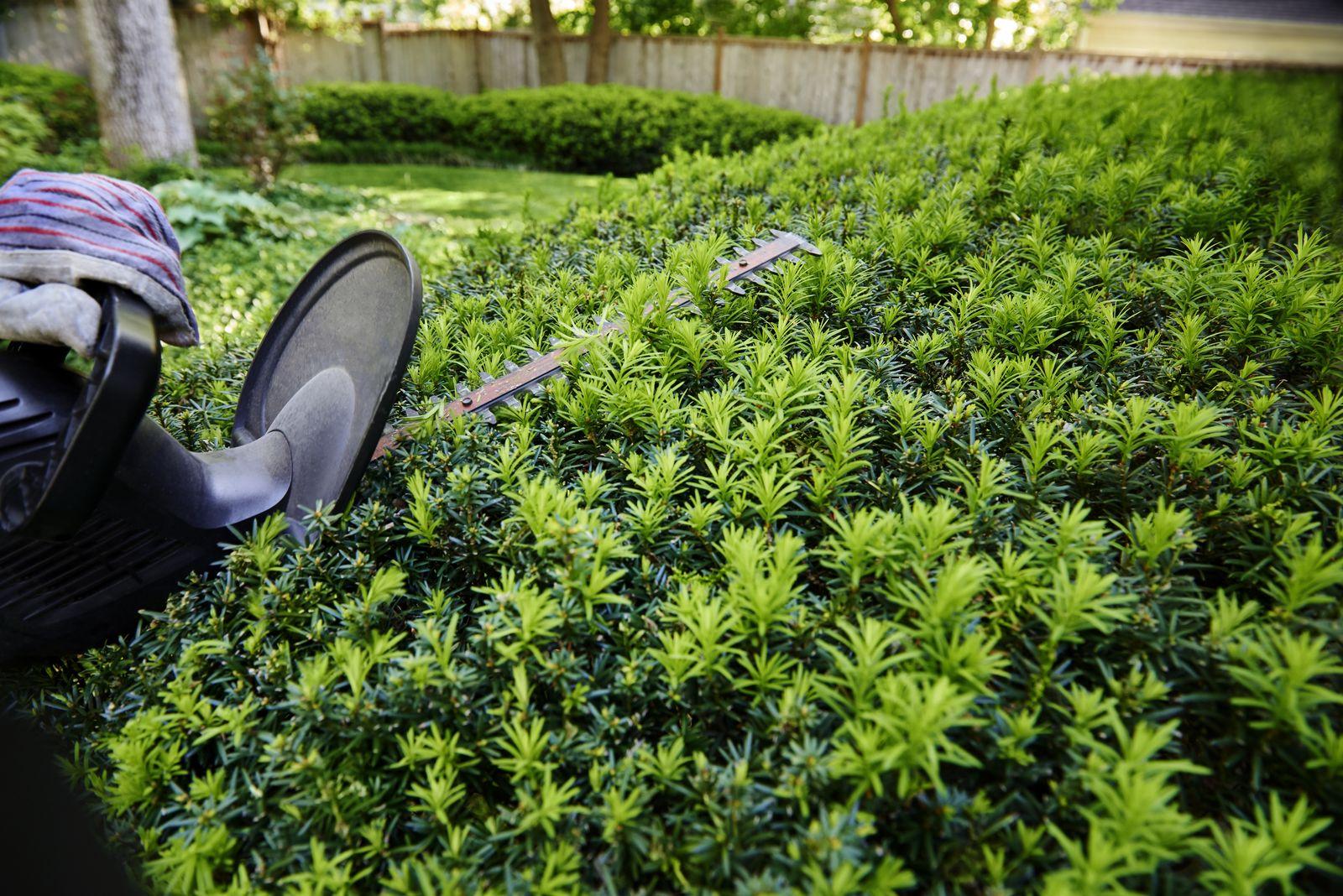 Fabelhaft Eiben düngen: Pflege-Tipps zum Düngen von Eiben-Hecken - Plantura @QK_38