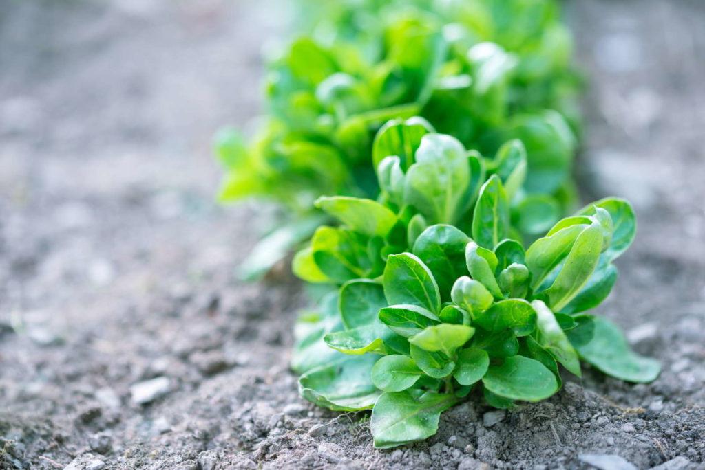 Feldsalat in einem Feld