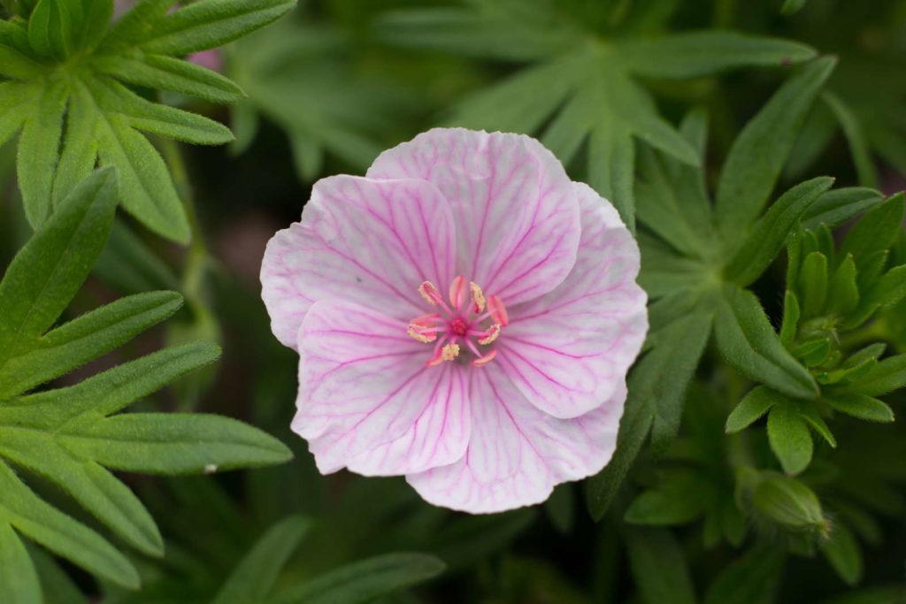 Storchschnabel Blüte rosa