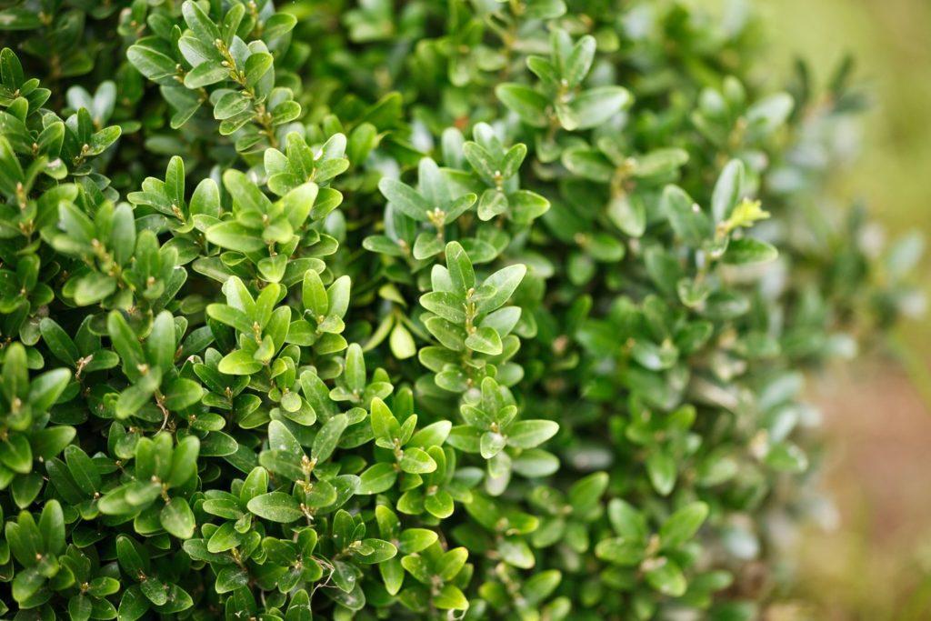 Grüner gesunder Buchsbaum