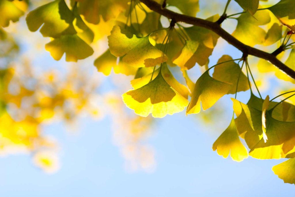 Ginkgo Blätter gelb in der Sonne