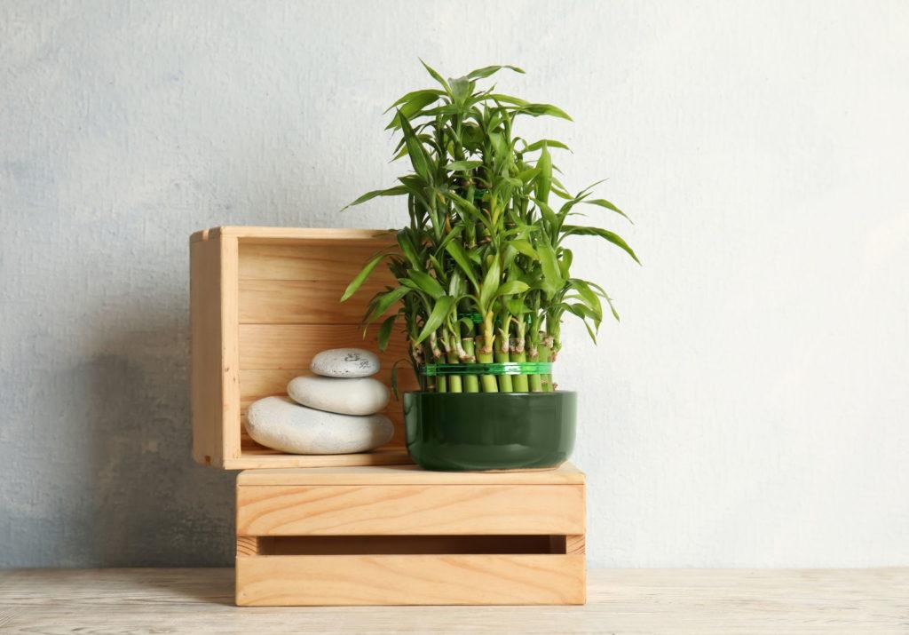 Glücksbambus auf Holzkisten