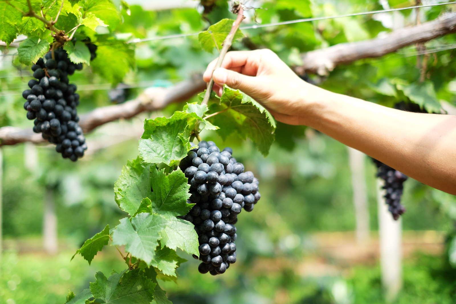 Ganz und zu Extrem Weinreben düngen: Anleitung & Experten-Tipps - Plantura #OS_57