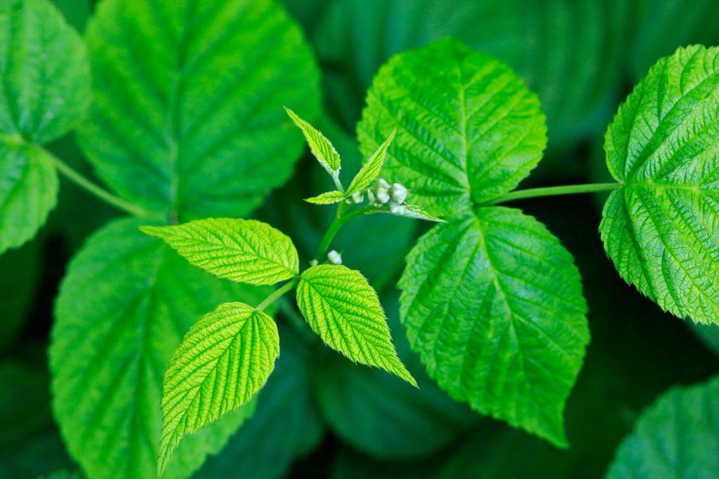 Himbeerpflanze mit grünen Blättern