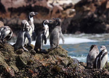 Humboldt Pinguine