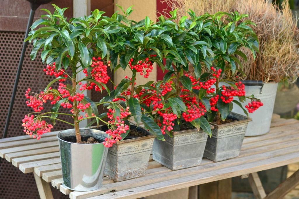 Ilex-Pflanzen in silbernen Töpfen
