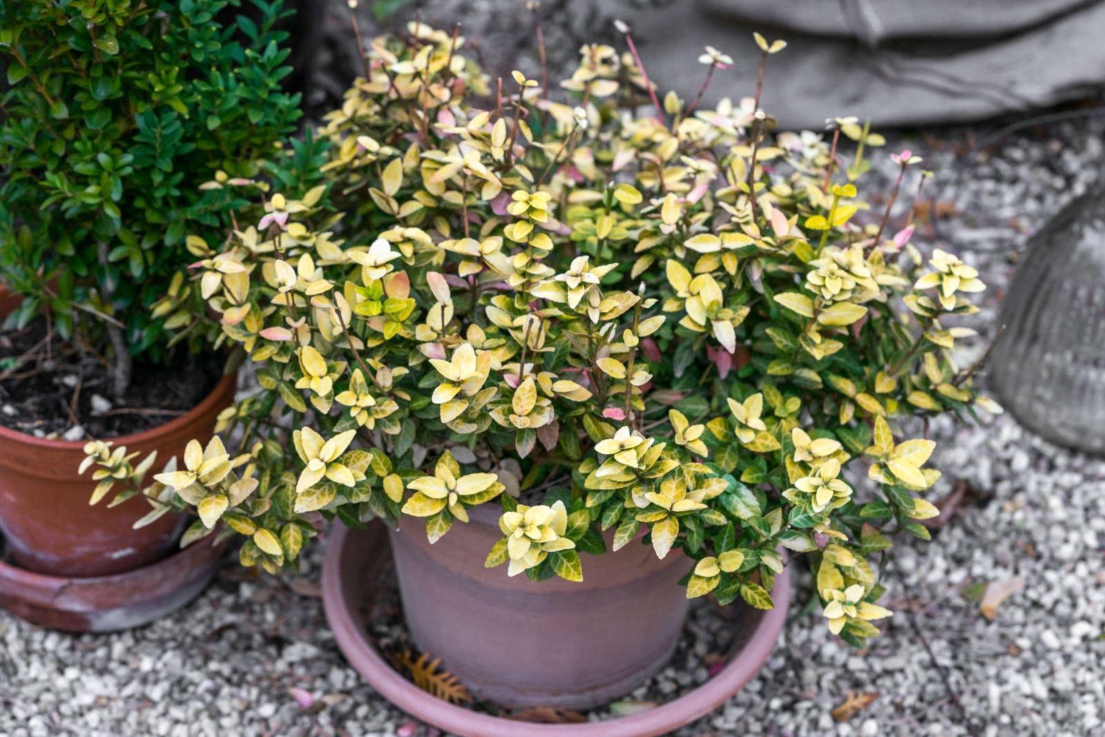 Winterharte kübelpflanzen immergrün
