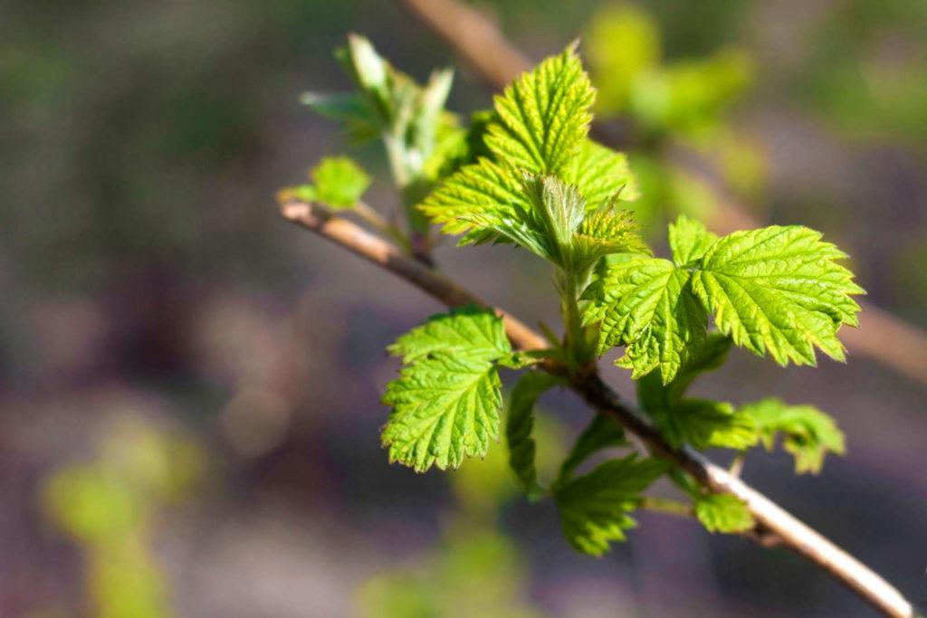 Junger Himbeerzweig im Frühling