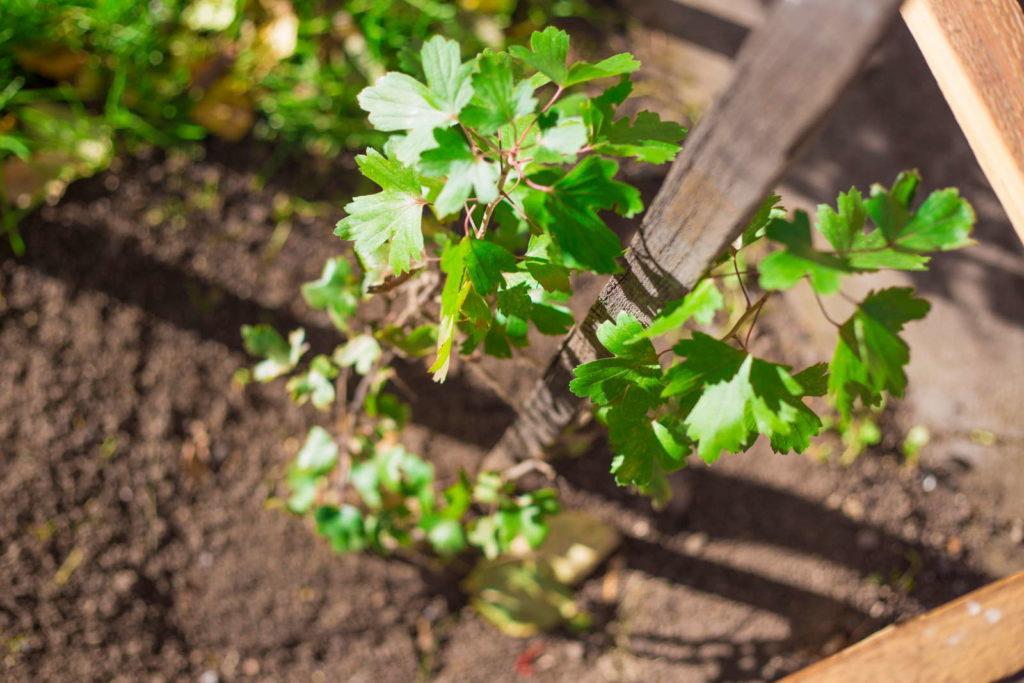 Jungpflanze Johannisbeere