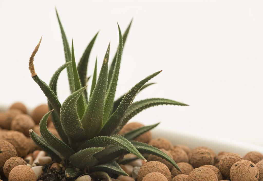 Kaktus Blähton nah