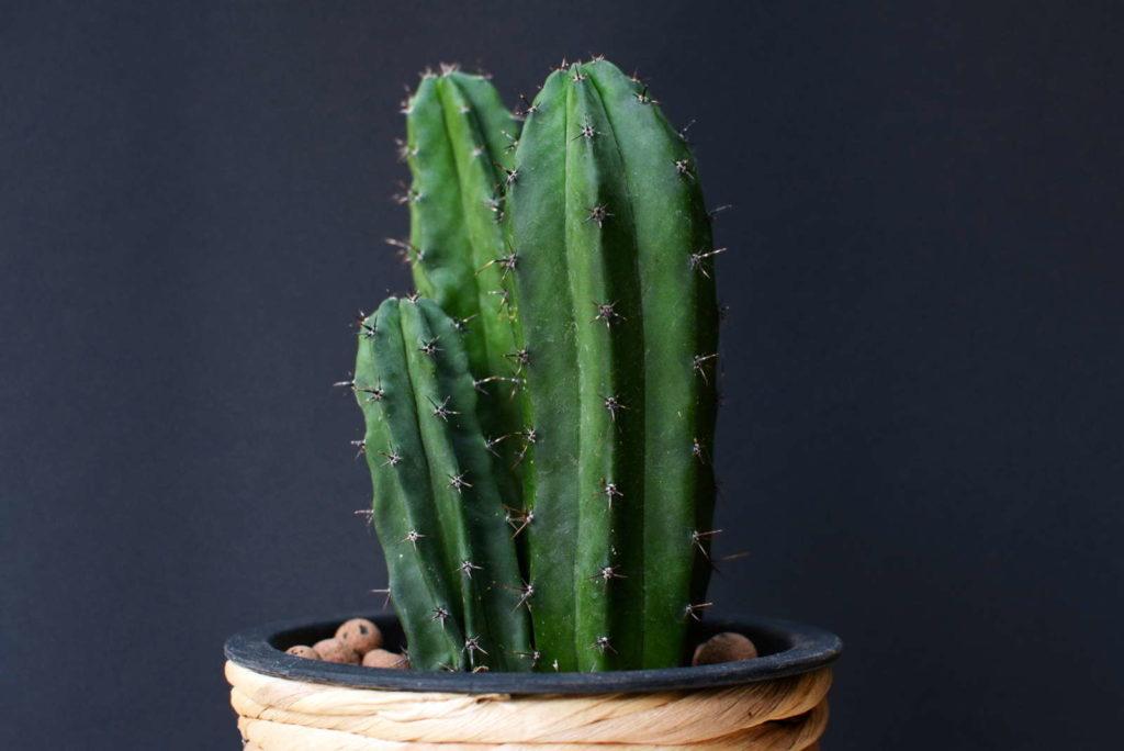 Kaktus in Tongranulat
