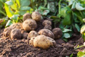Kartoffeln Auf Der Erde