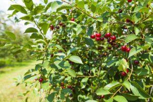Kirschbaum Mit Früchten Daran Auf Dem Feld