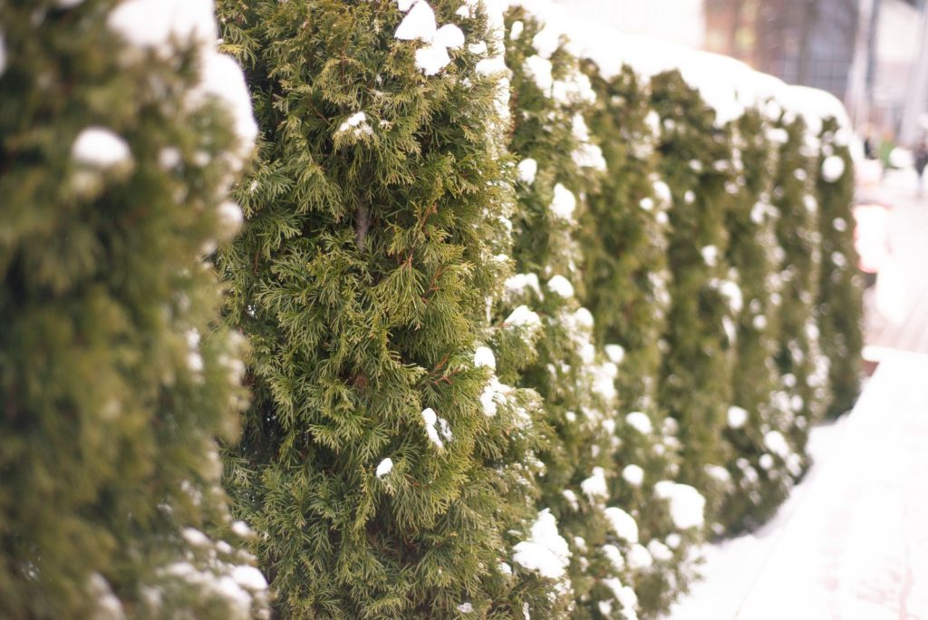 Koniferen-Hecke im Winter