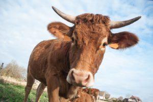 Braune Kuh Mit Hörnern Auf Einer Wiese