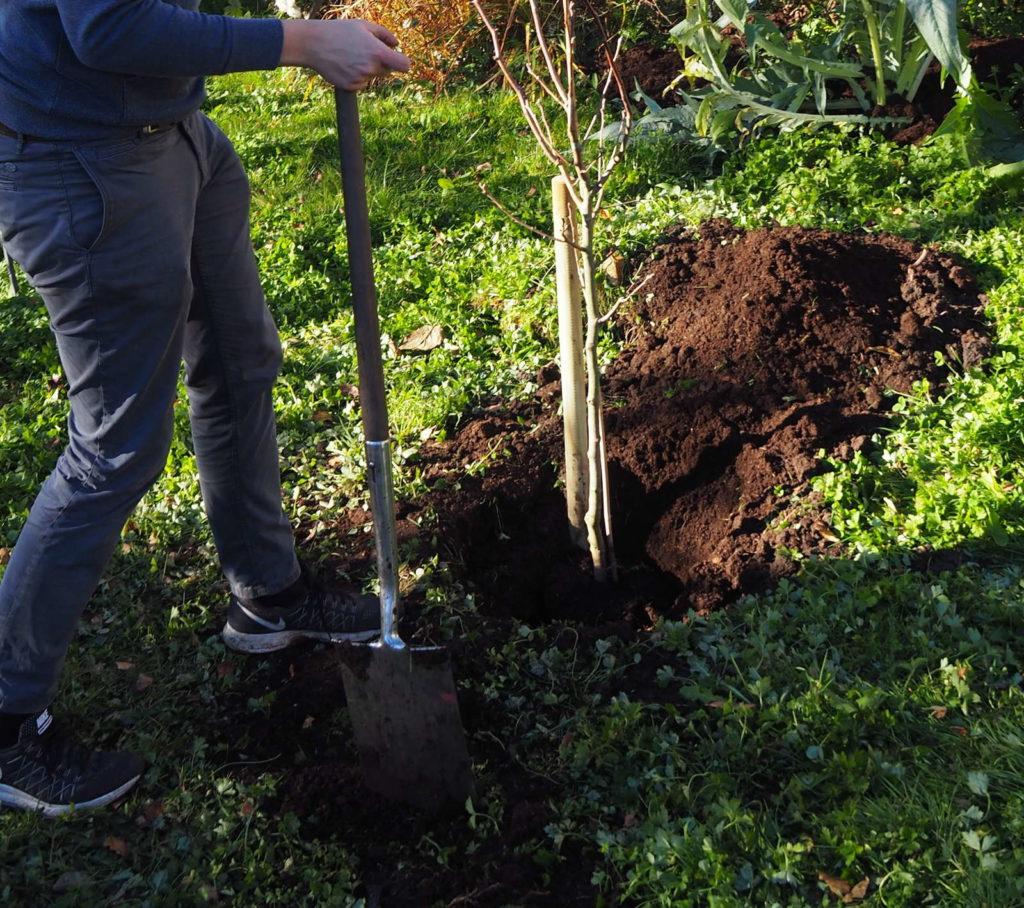 Ausheben eines Pflanzlochs mit einem Spaten in einem Garten