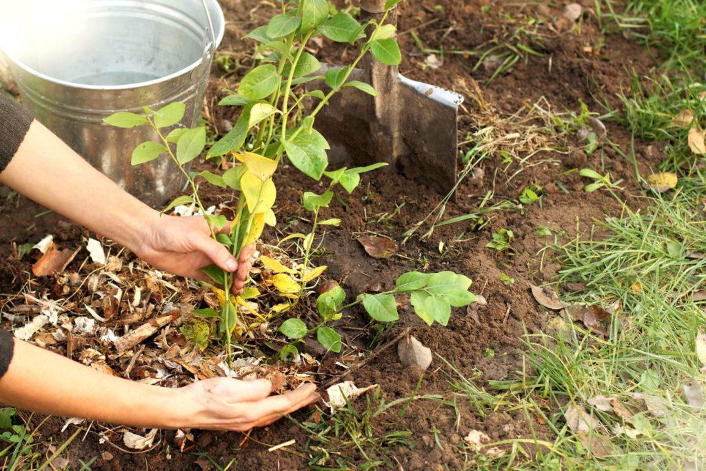 Obstbaum einpflanzen Mulch