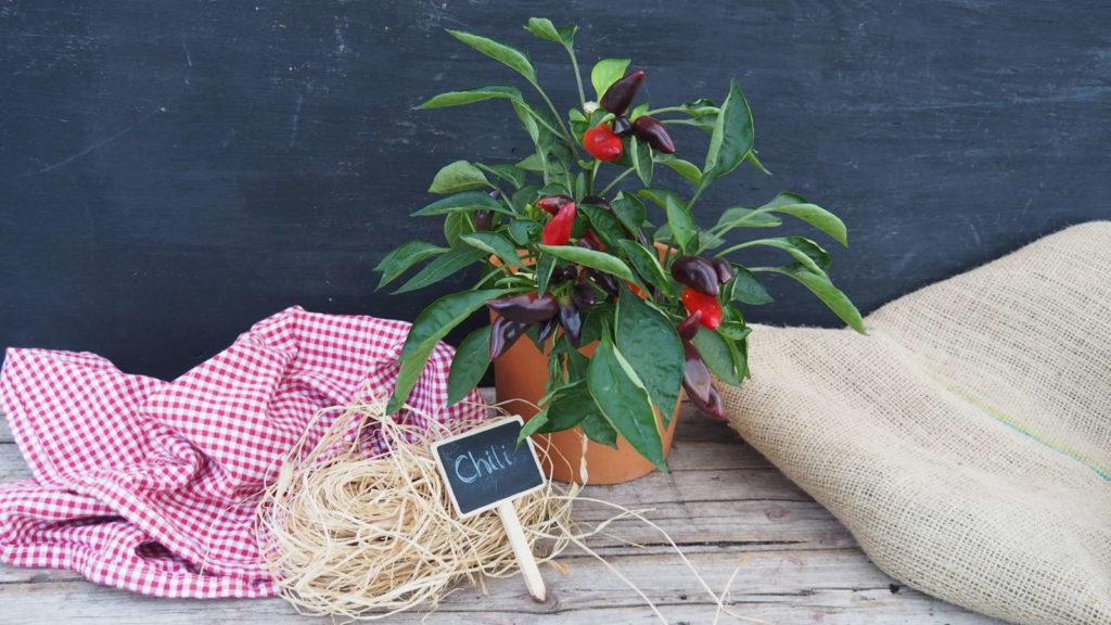 Chilipflanze im Topf