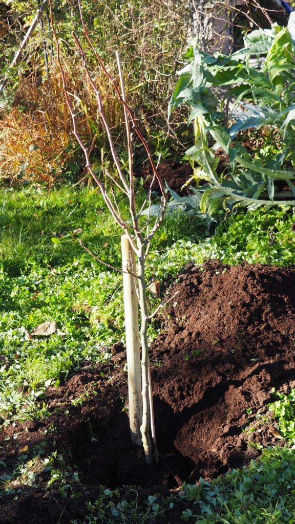 Birnbaum an einen Stützpfahl angelehnt im Garten