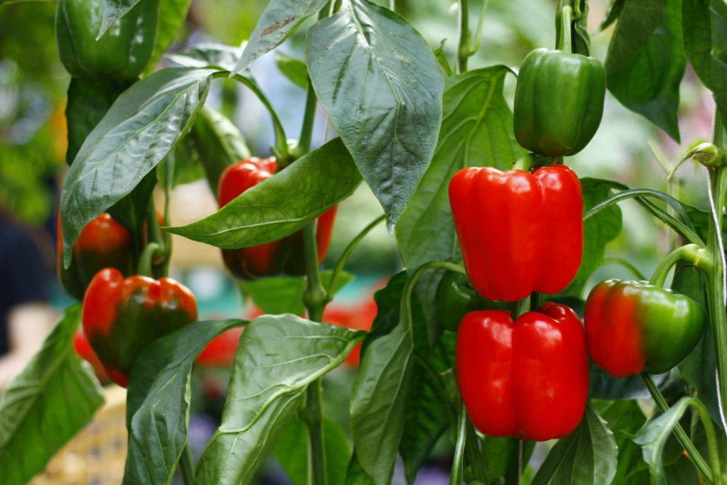 Paprika an einer Paprikapflanze