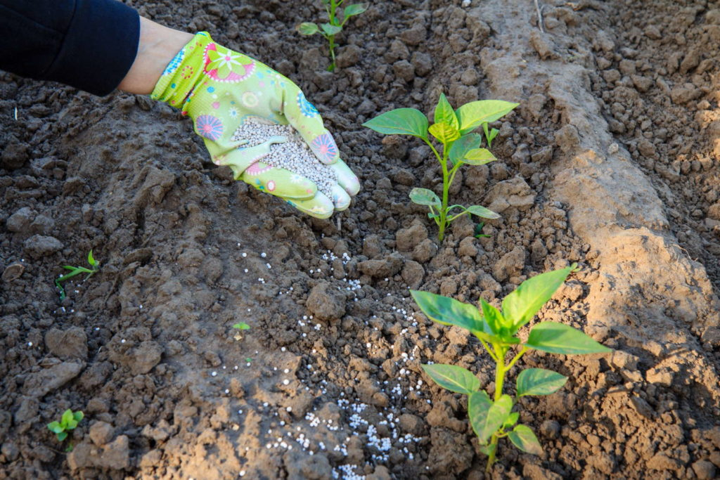 Paprikapflanzen düngen im Beet mineralischer Dünger