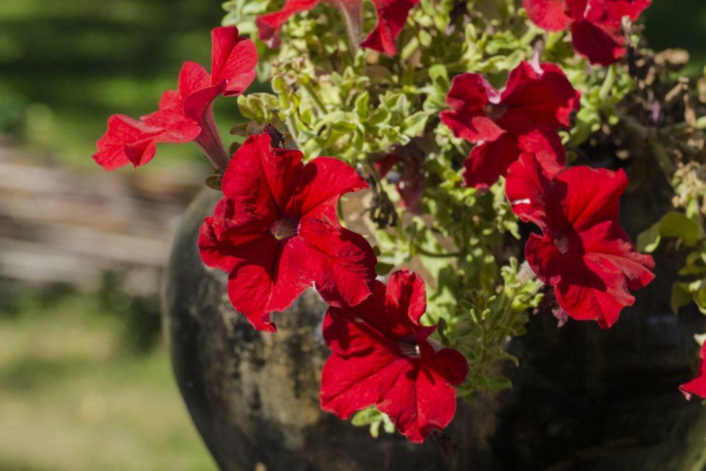 Rote Petunien