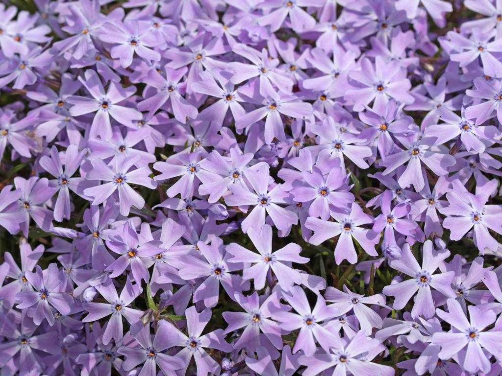 Polsterphlox violette Blüten