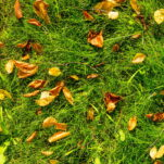 Rasen im Herbst düngen: Wann, wie & womit?