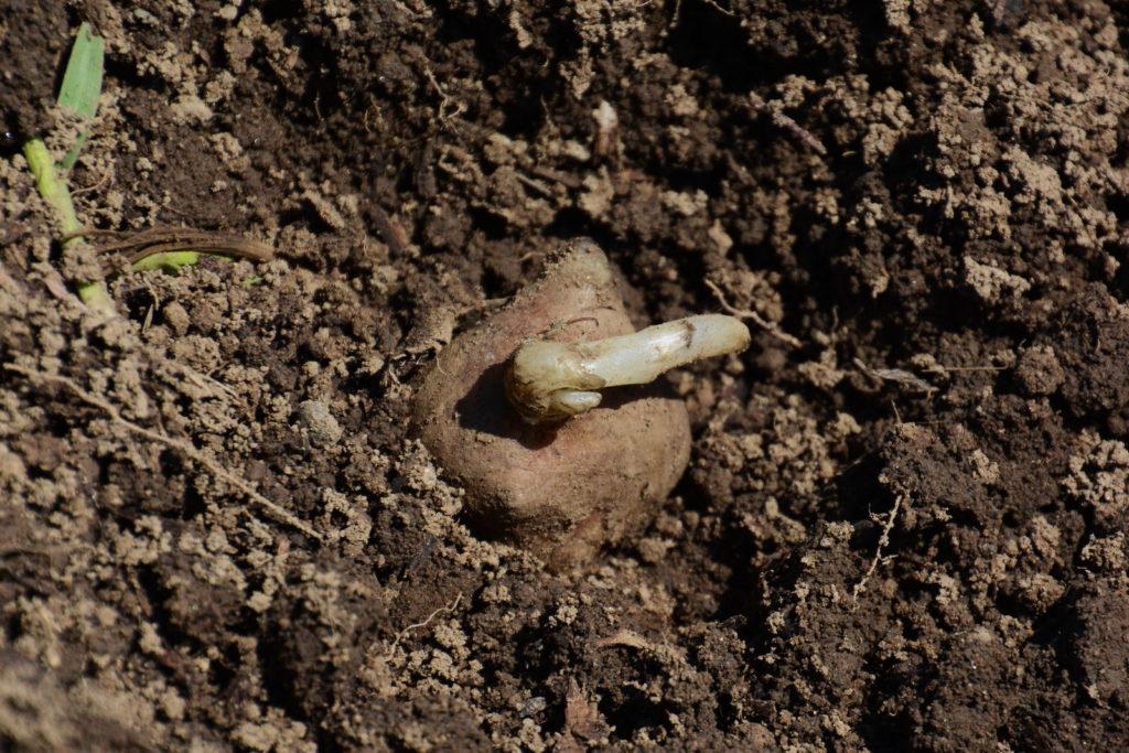 Rhizom in der Erde