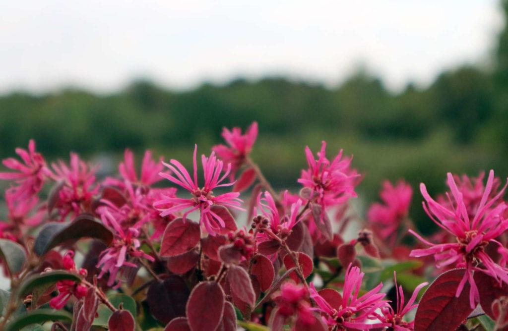 Riemenblüte vor einer Landschaft