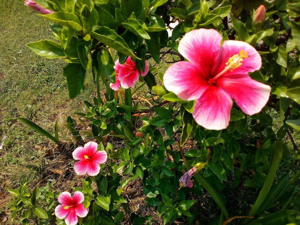 rote Hibiskusblüte im Topf auf einer Terasse
