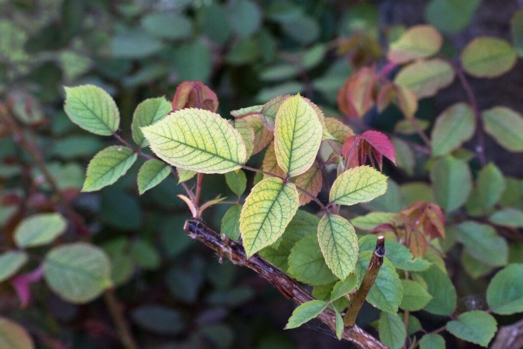 Rose mit hellen Blättern