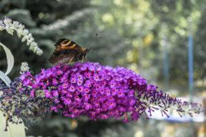 Schmetterling Auf Lila Flieder