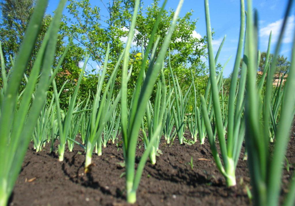 Winterheckenzwiebeln in der Erde eingepflanzt