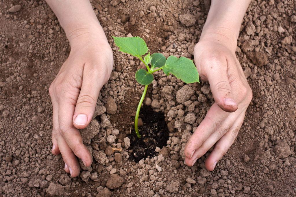 Eine Gurkenpflanze wurde eingepflanzt