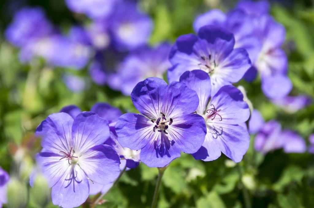 Storchenschnabel Blüte violett