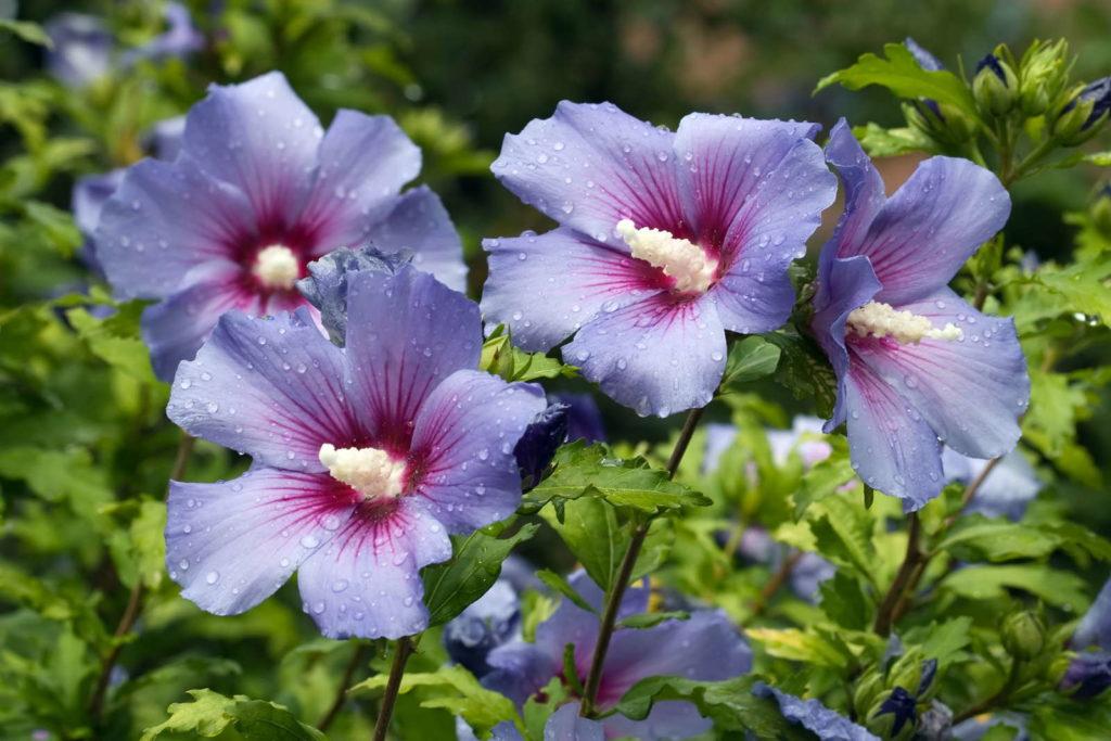 Violetter Hibiskus mit Regentropfen in der Sonne