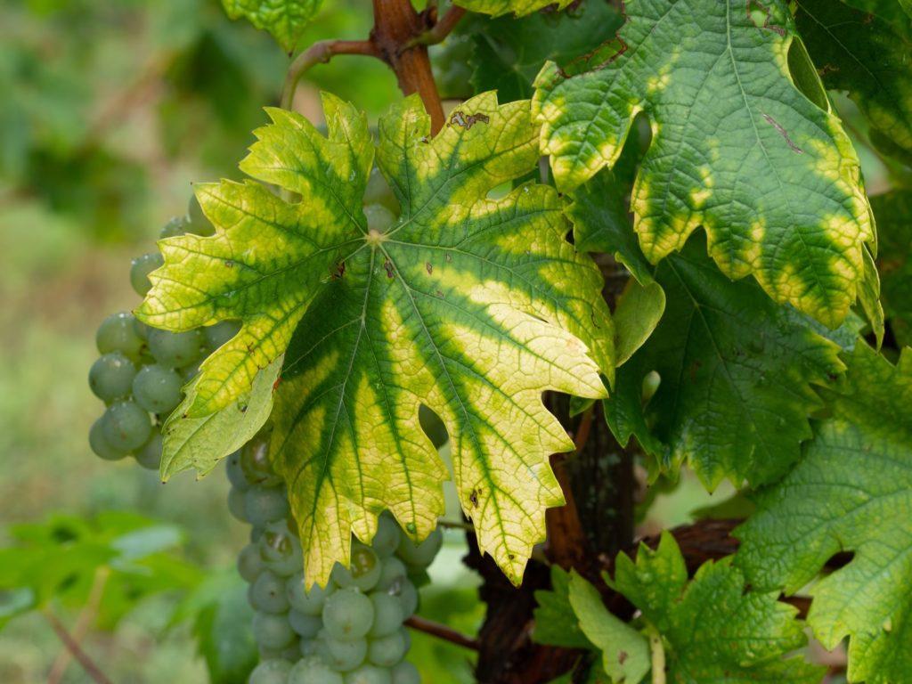 Weinblatt mit Eisenmangel