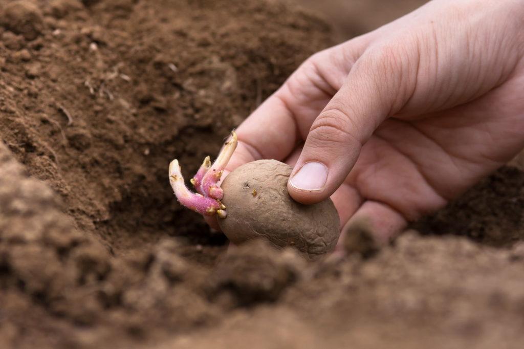 Eine keimende Kartoffel wird in die Erde gepflanzt